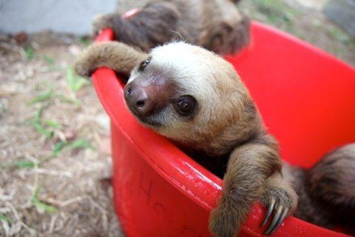 sloth-in-a-bucket